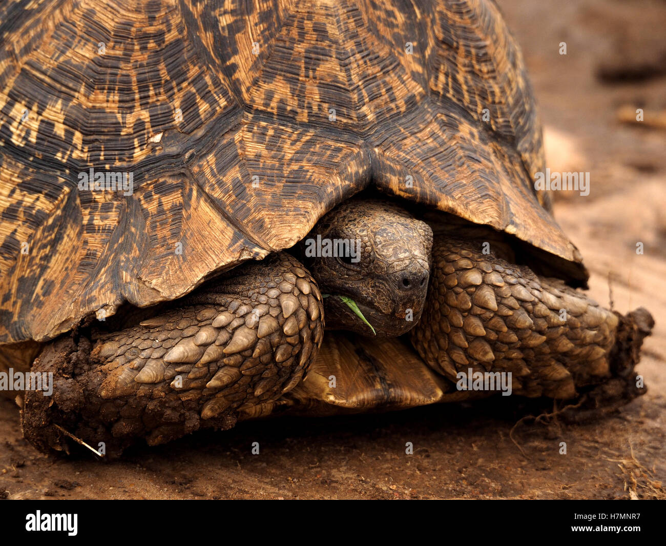 close-up of Leopard tortoise (Stigmochelys pardalis) chewing grass  with head drawn back beneath shell between scaly - Stock Image