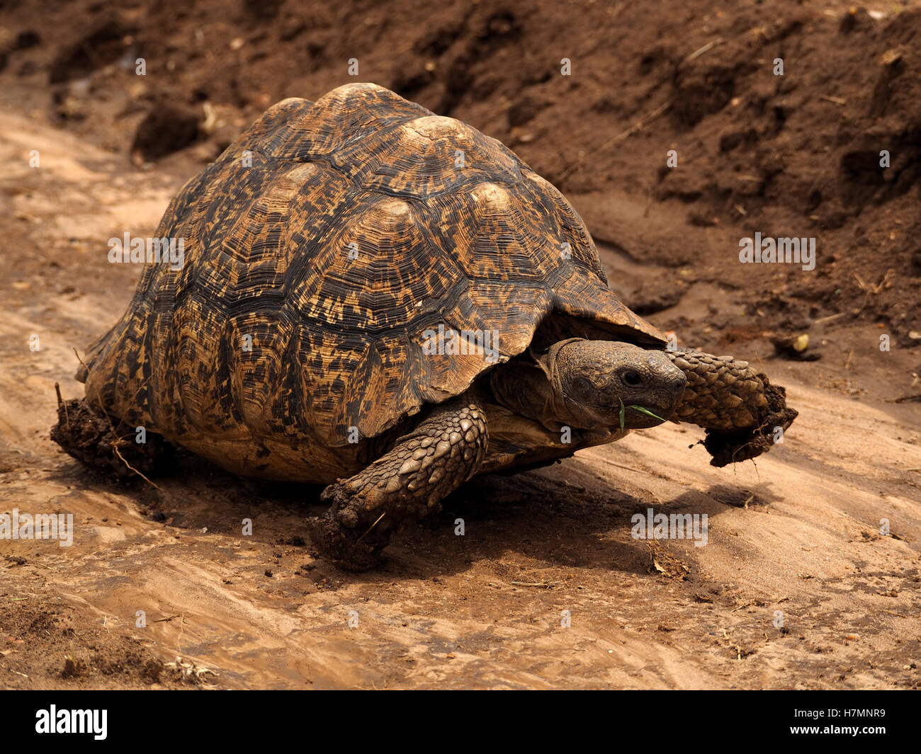 Leopard tortoise (Stigmochelys pardalis) marching in riverbed Laikipia district Kenya Africa with compacted mud - Stock Image