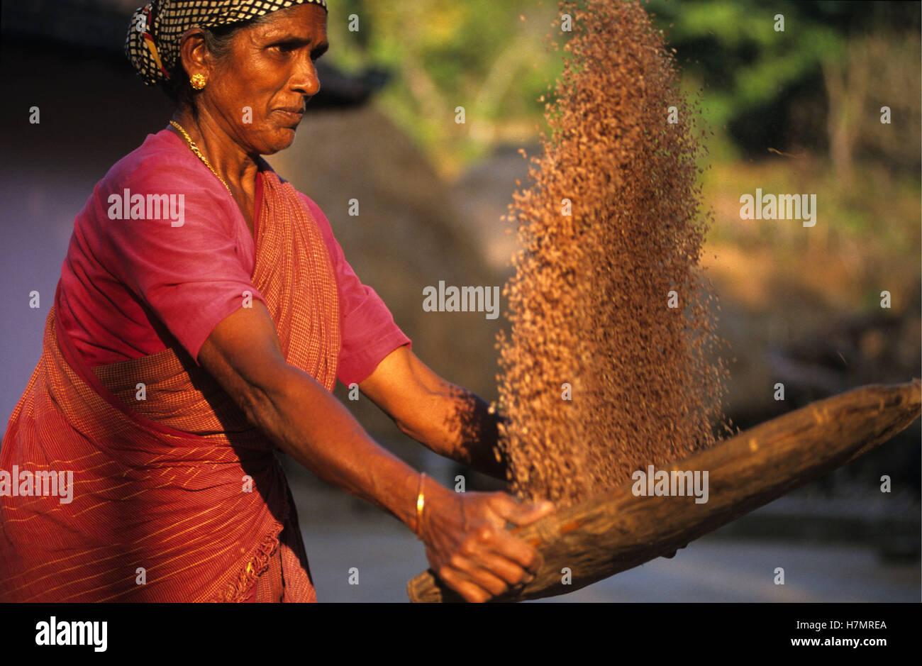 INDIA Karnataka, Moodbidri, rice farming, woman winnowing rice to separate grain from chaff - Stock Image