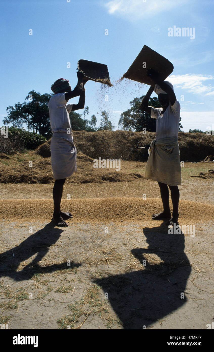 INDIA Tamil Nadu, rice farming, man winnowing rice to separate grain from chaff - Stock Image