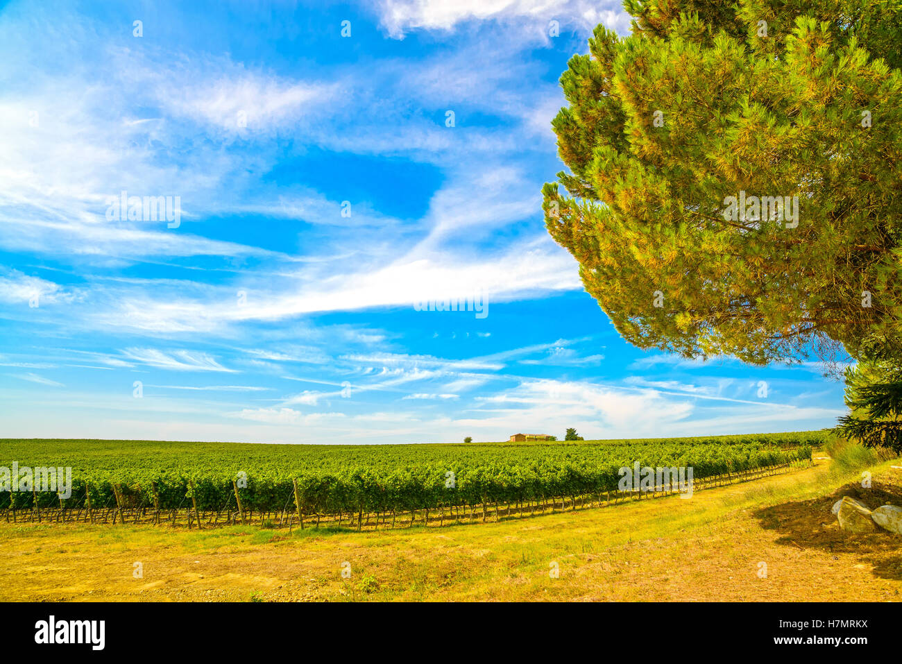Chianti region, vineyard, pine tree and farm. Tuscany, Italy, Europe. - Stock Image