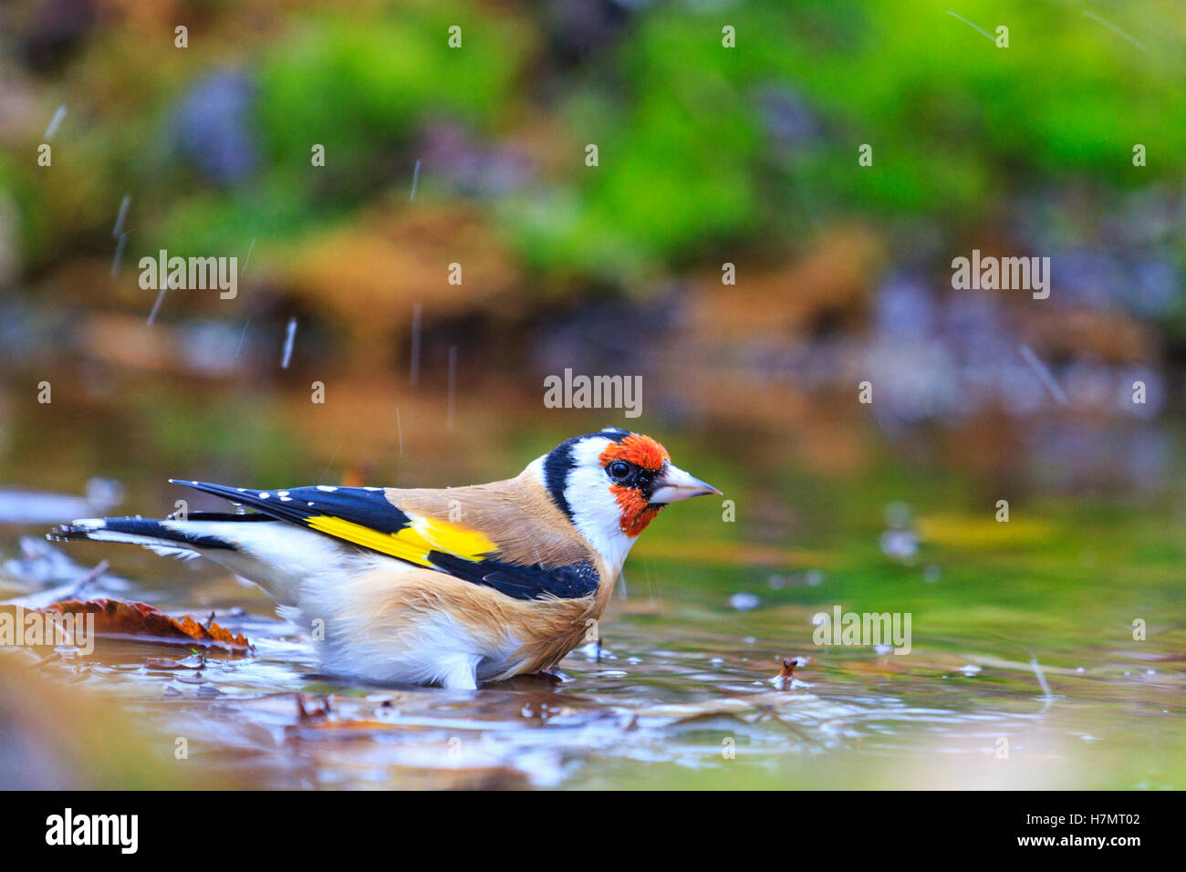 Carduelis carduelis bathing in puddles forest,autumn colored bird, unique moment, - Stock Image