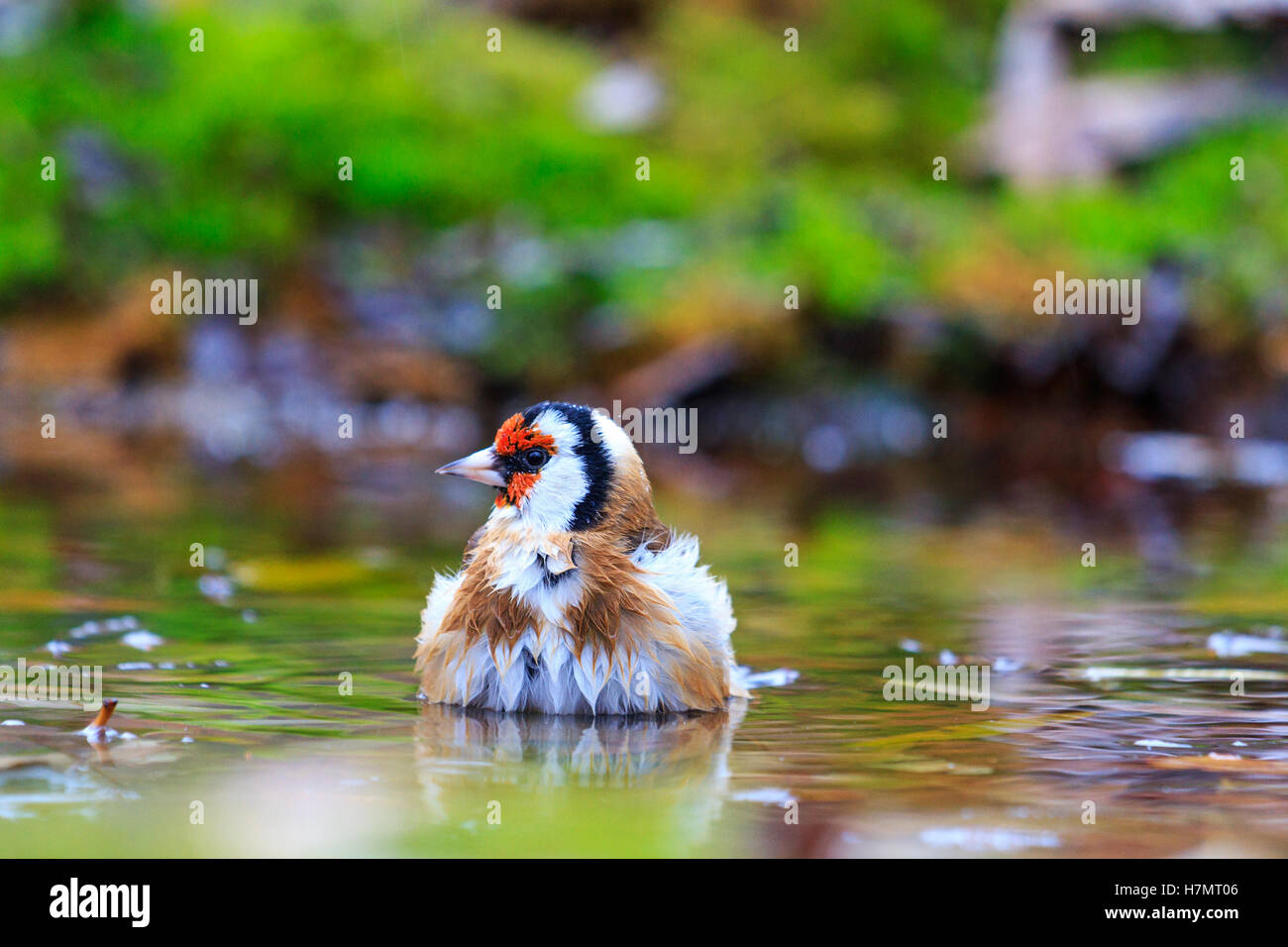 bird with a red head on watering,autumn colored bird, unique moment, - Stock Image