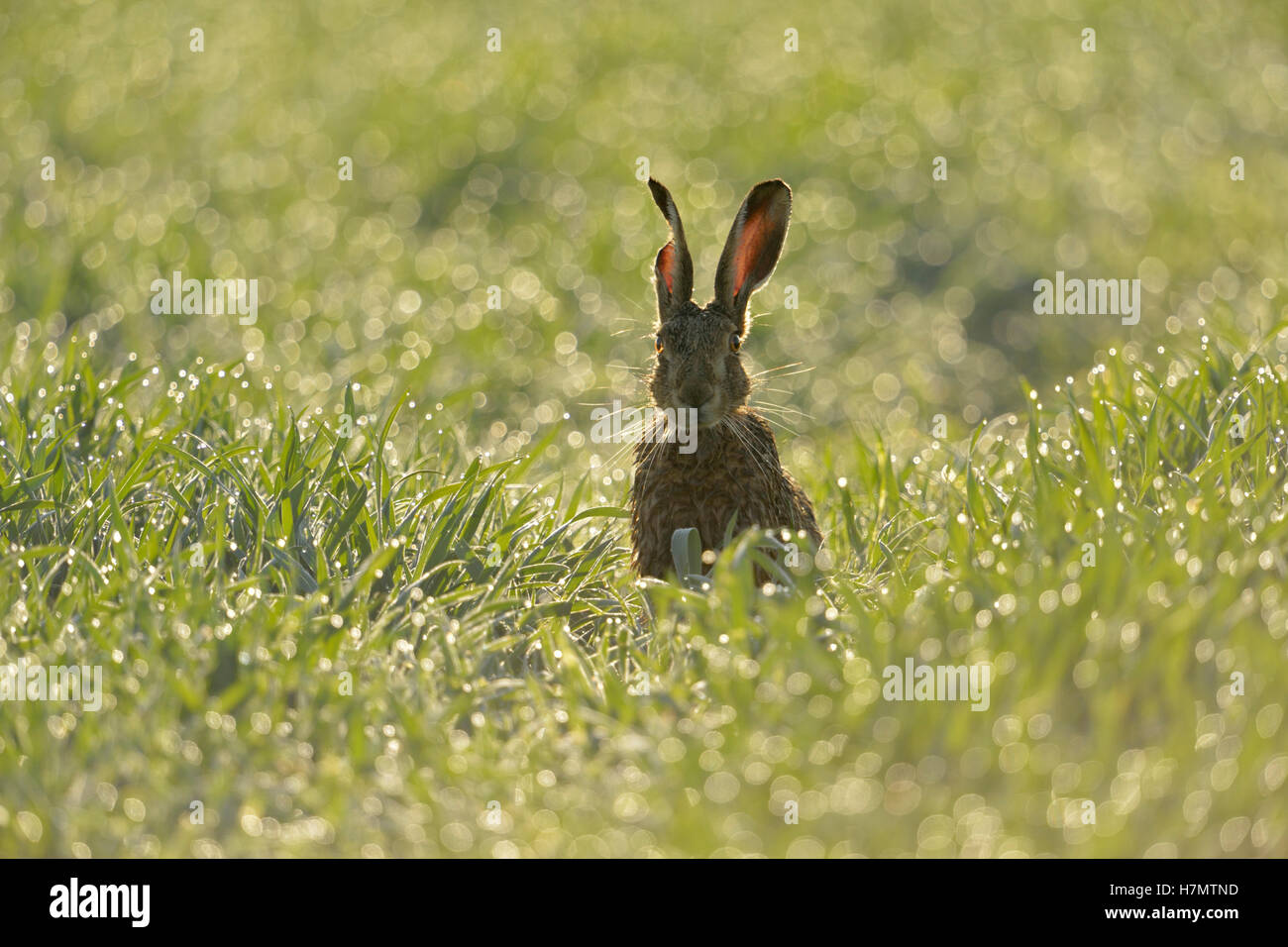 Brown Hare / European Hare / Feldhase ( Lepus europaeus ) sitting in a dew wet field of winter wheat, first sunlight, - Stock Image