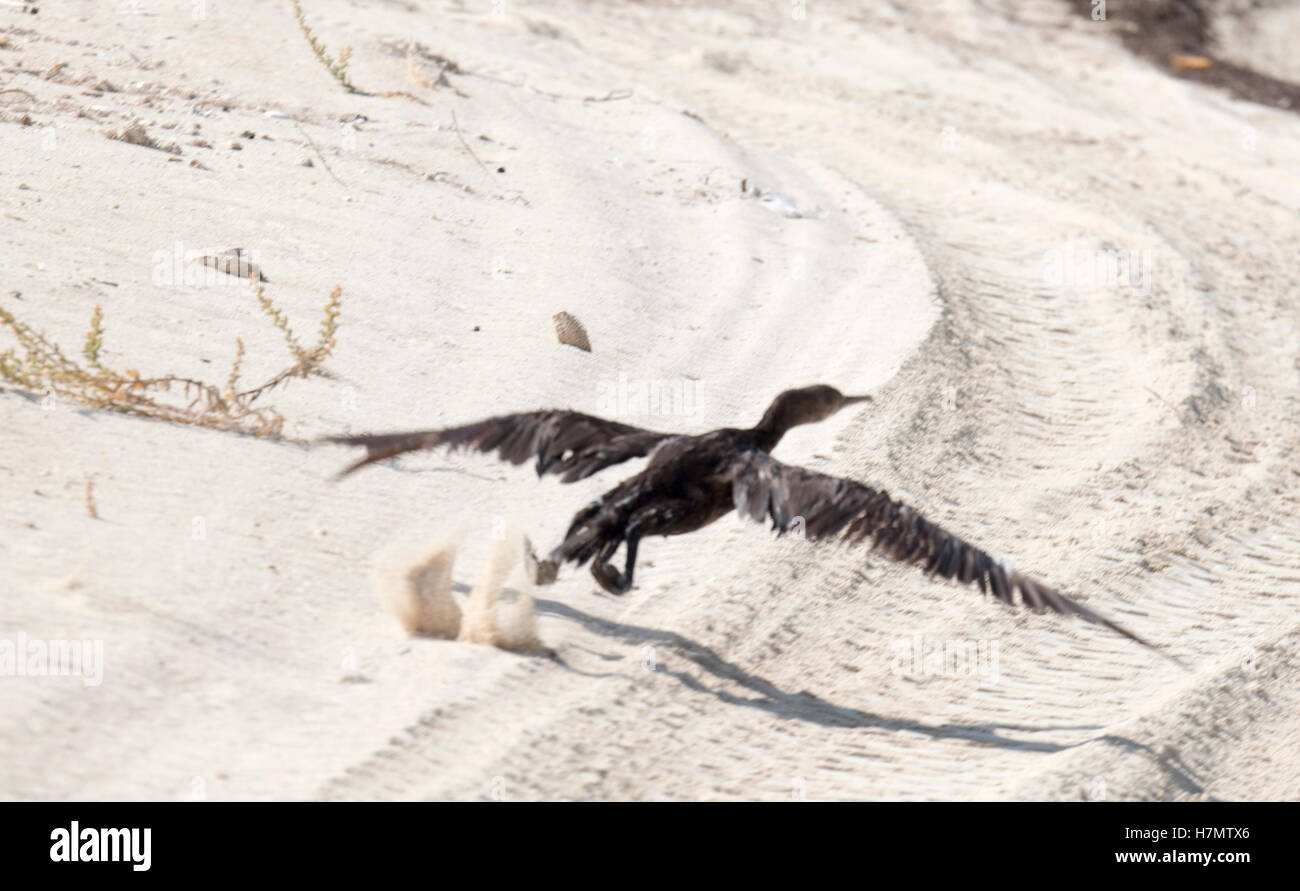 A Socotra cormorant seen during a visit by the Prince of Wales to Bu Tinah Island, a UNESCO protected marine area - Stock Image