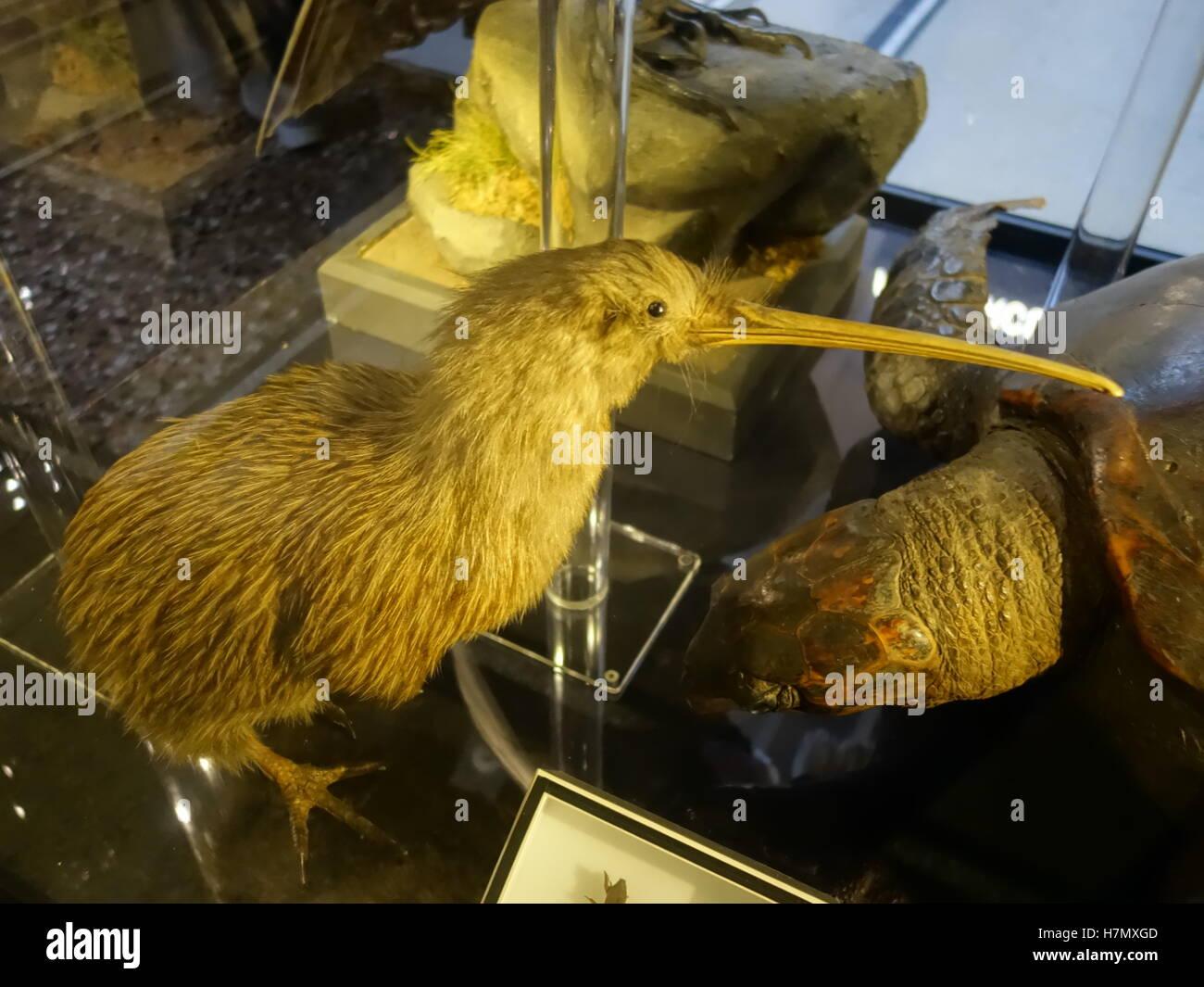Taxidermy Kiwi bird in a museum - Stock Image