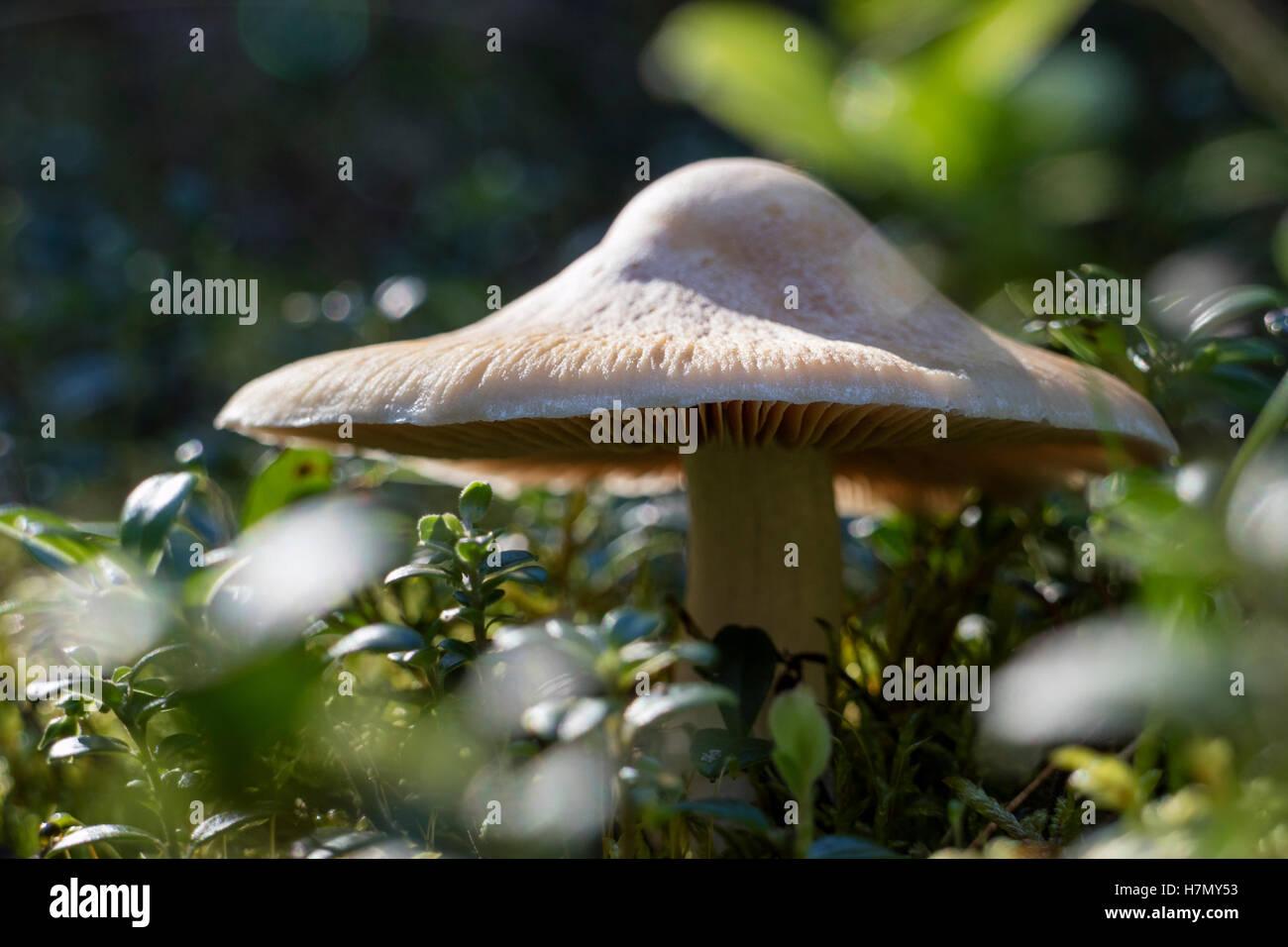 Cortinarius mushroom in the forest - Stock Image
