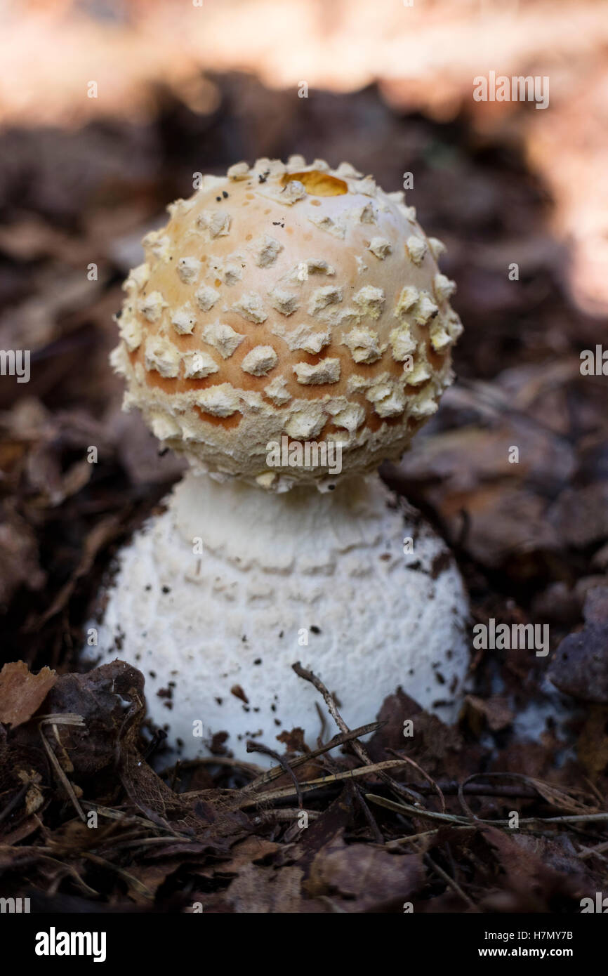 Amanita mushroom in the forest close up - Stock Image