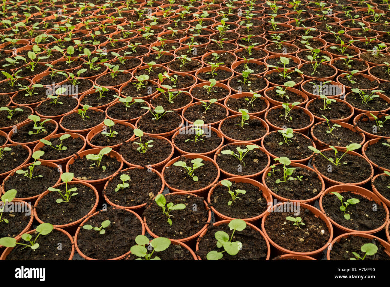 Plant nursery with germinating seeds - Stock Image