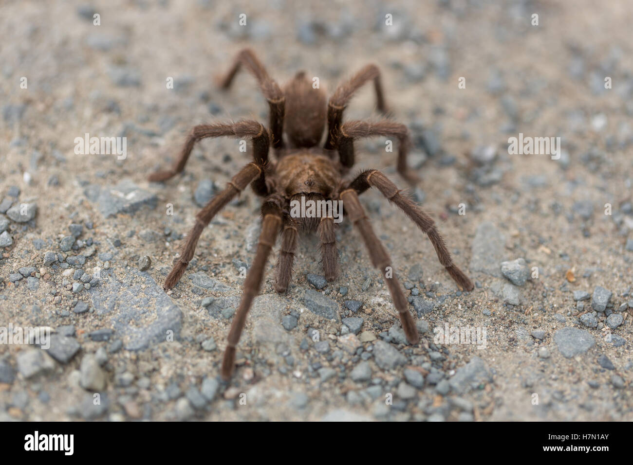 Tarantula - Aphonopelma, Contra Costa County, California, USA, Fall 2016. - Stock Image