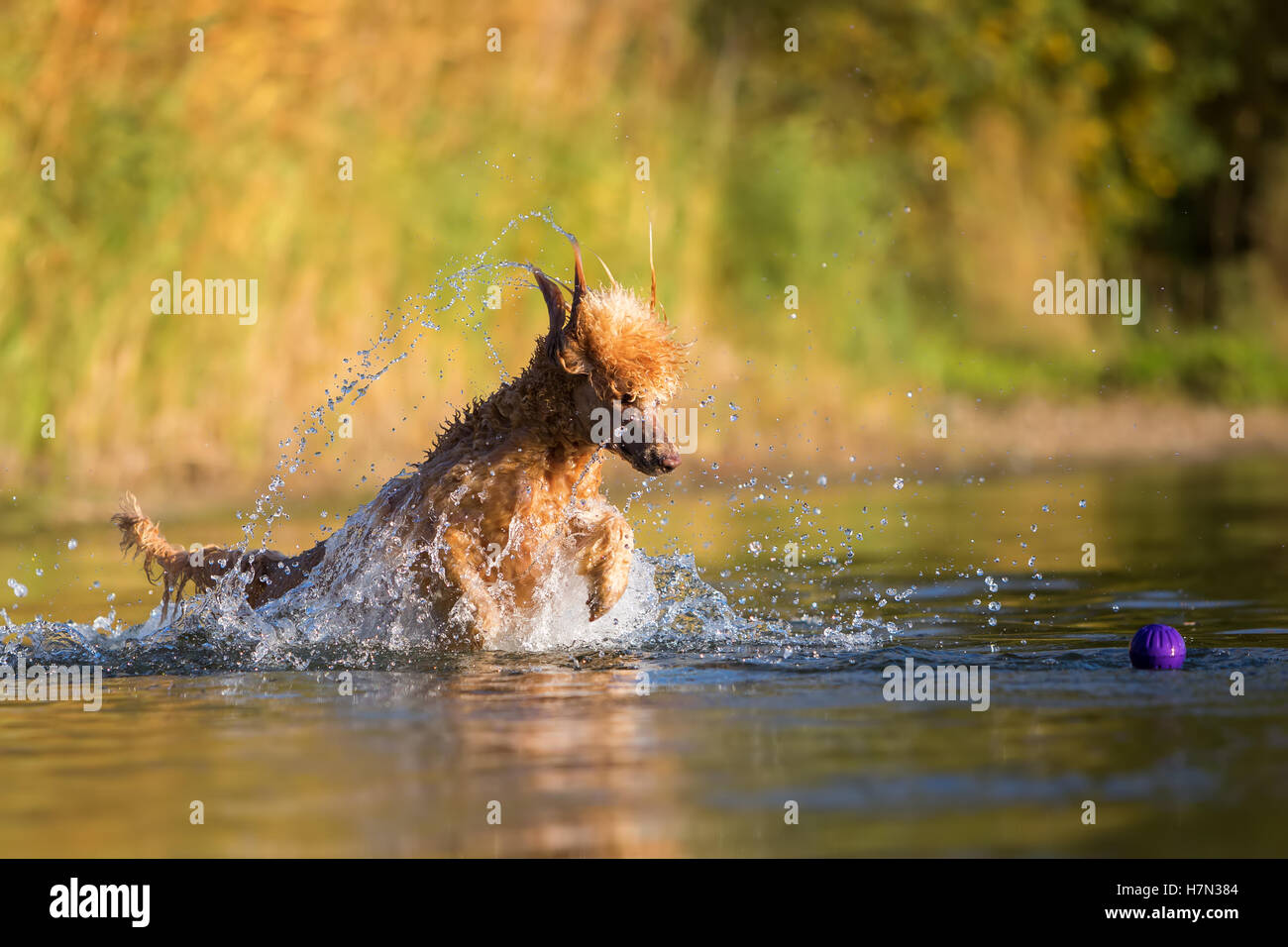 royal poodle playing in a lake in front of autumnal greenery - Stock Image