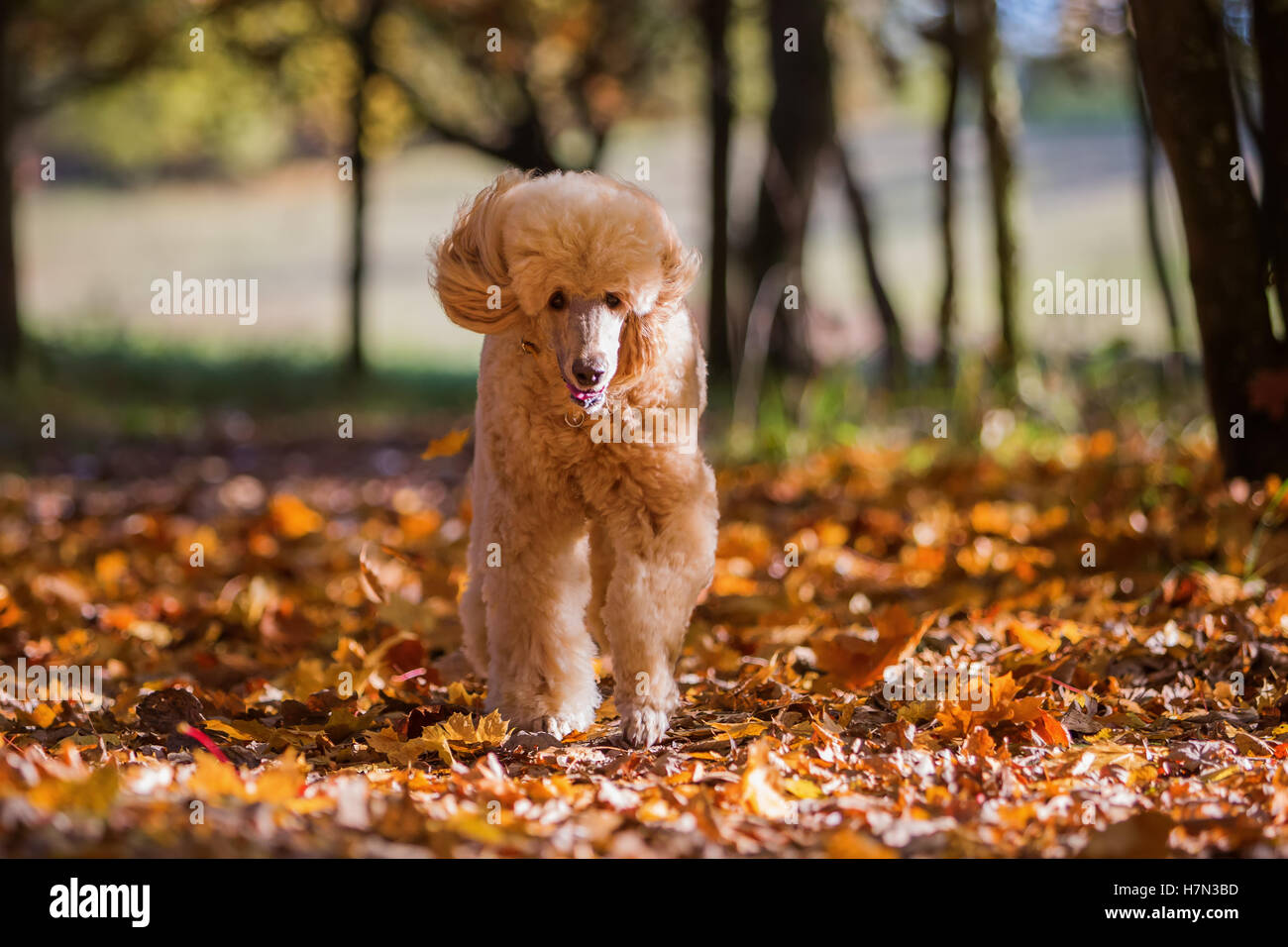 royal poodle running in the autumn forest - Stock Image