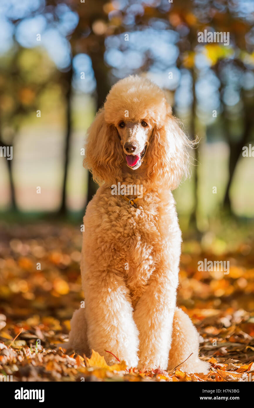 portrait of a royal poodle in an autumn forest - Stock Image