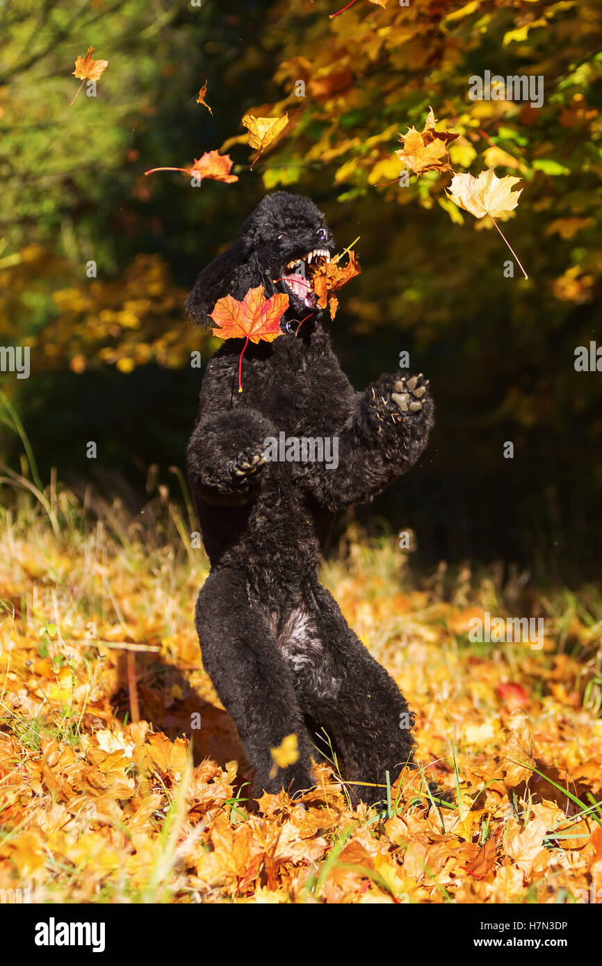 royal poodle having fun by jumping for autumn leaves - Stock Image