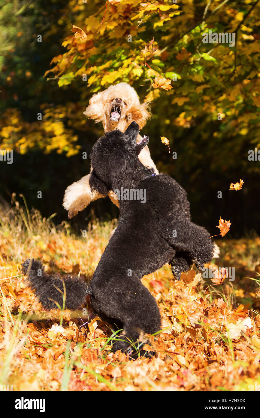 two royal poodles having fun with autumn leaves - Stock Image