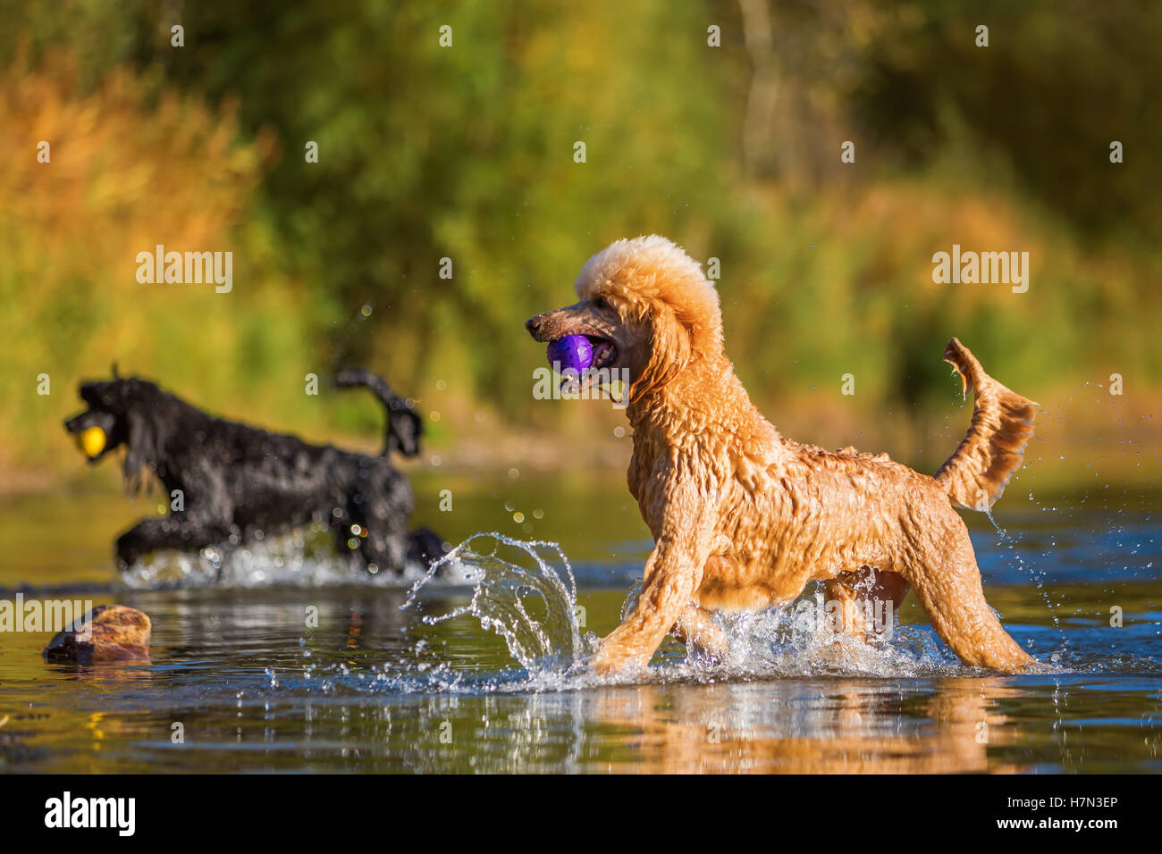 royal poodles playing in a lake in front of autumnal greenery - Stock Image