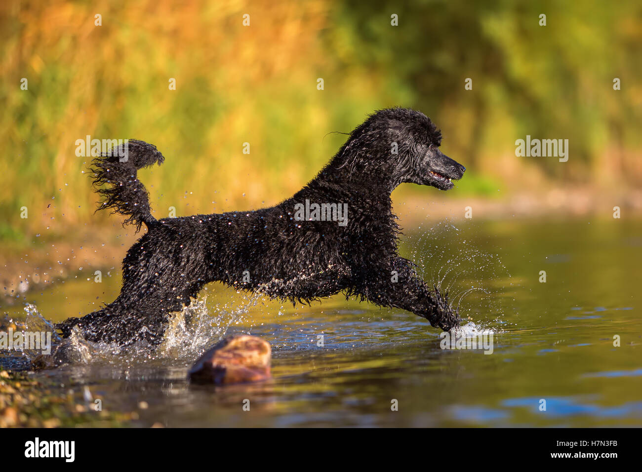 royal poodle running in the water of a lake - Stock Image