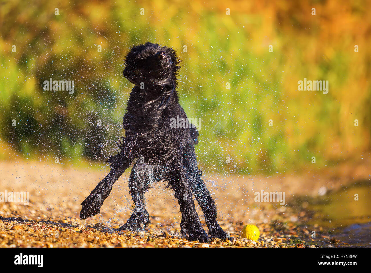 wet royal poodle shaking the fur after running in a lake - Stock Image