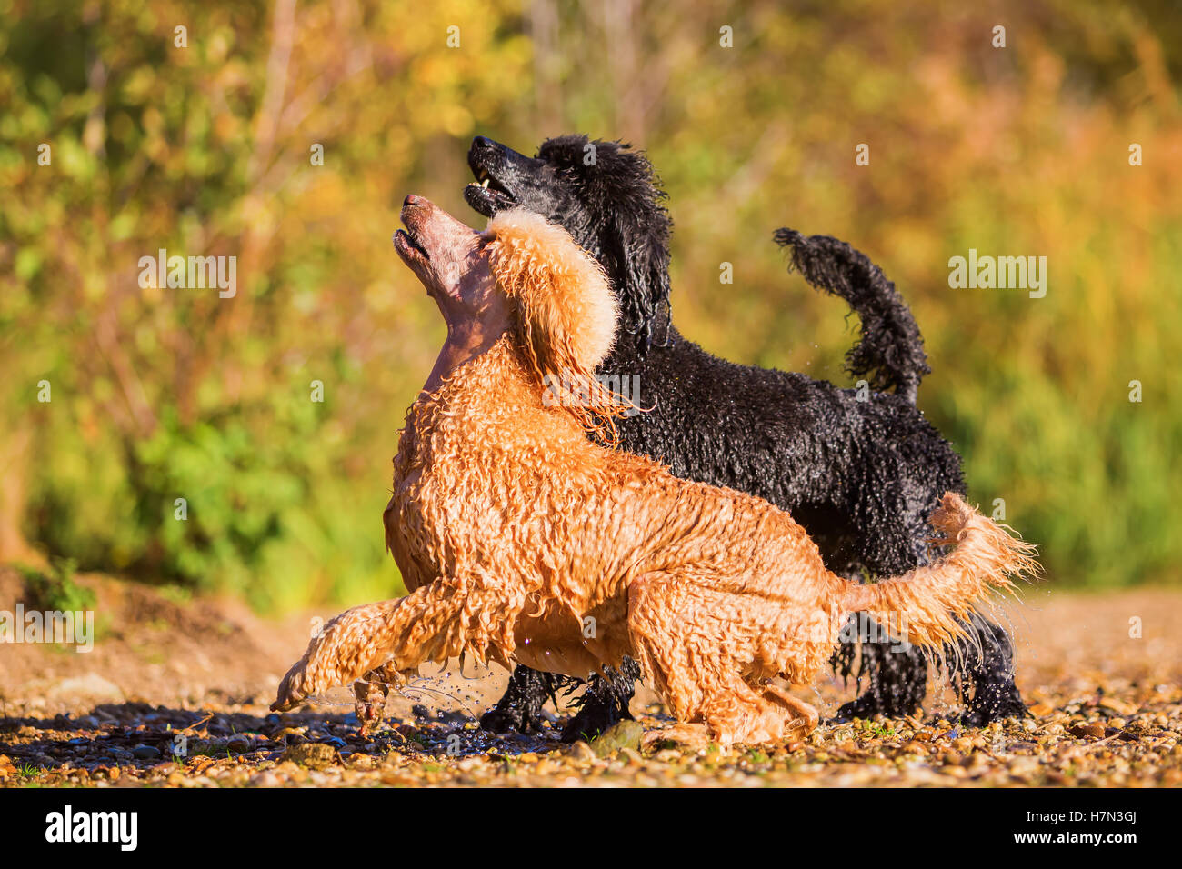 two wet royal poodles waiting that a woman throws a ball in the lake Stock Photo