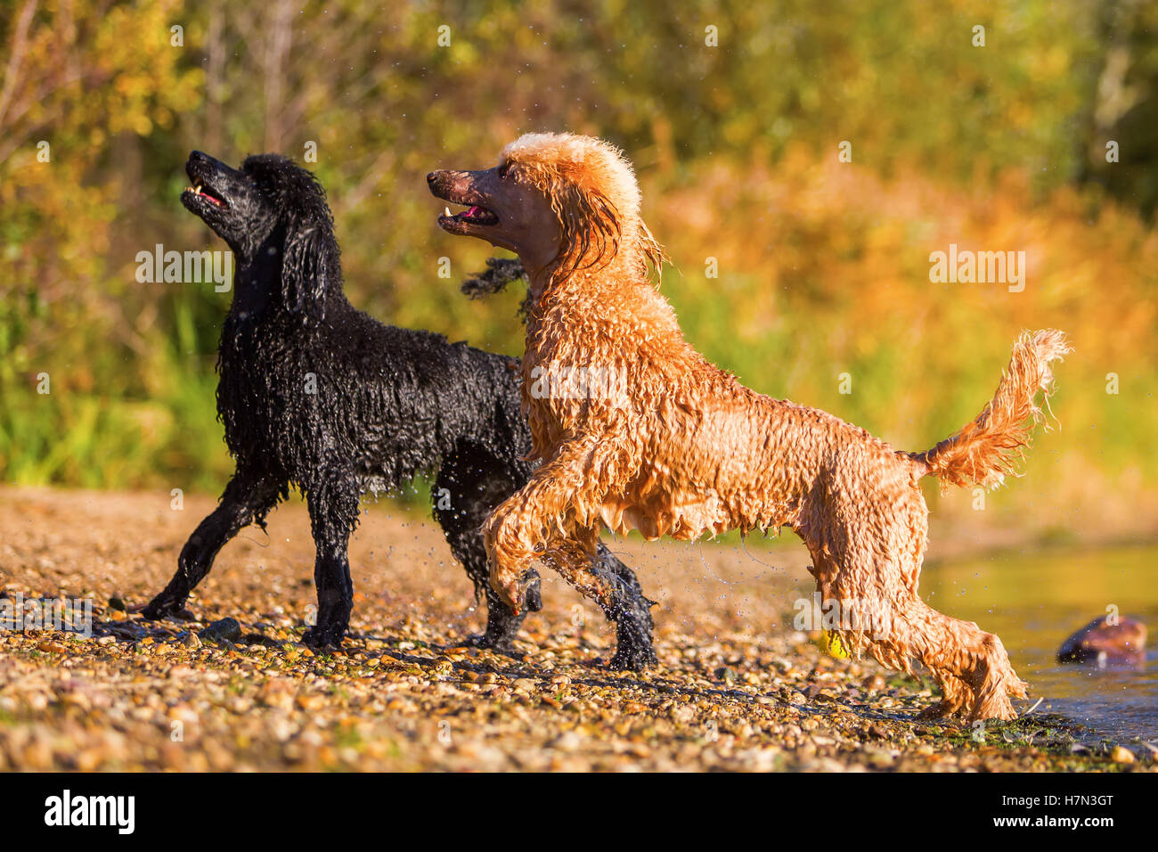 two royal poodles coming wet out of the lake - Stock Image