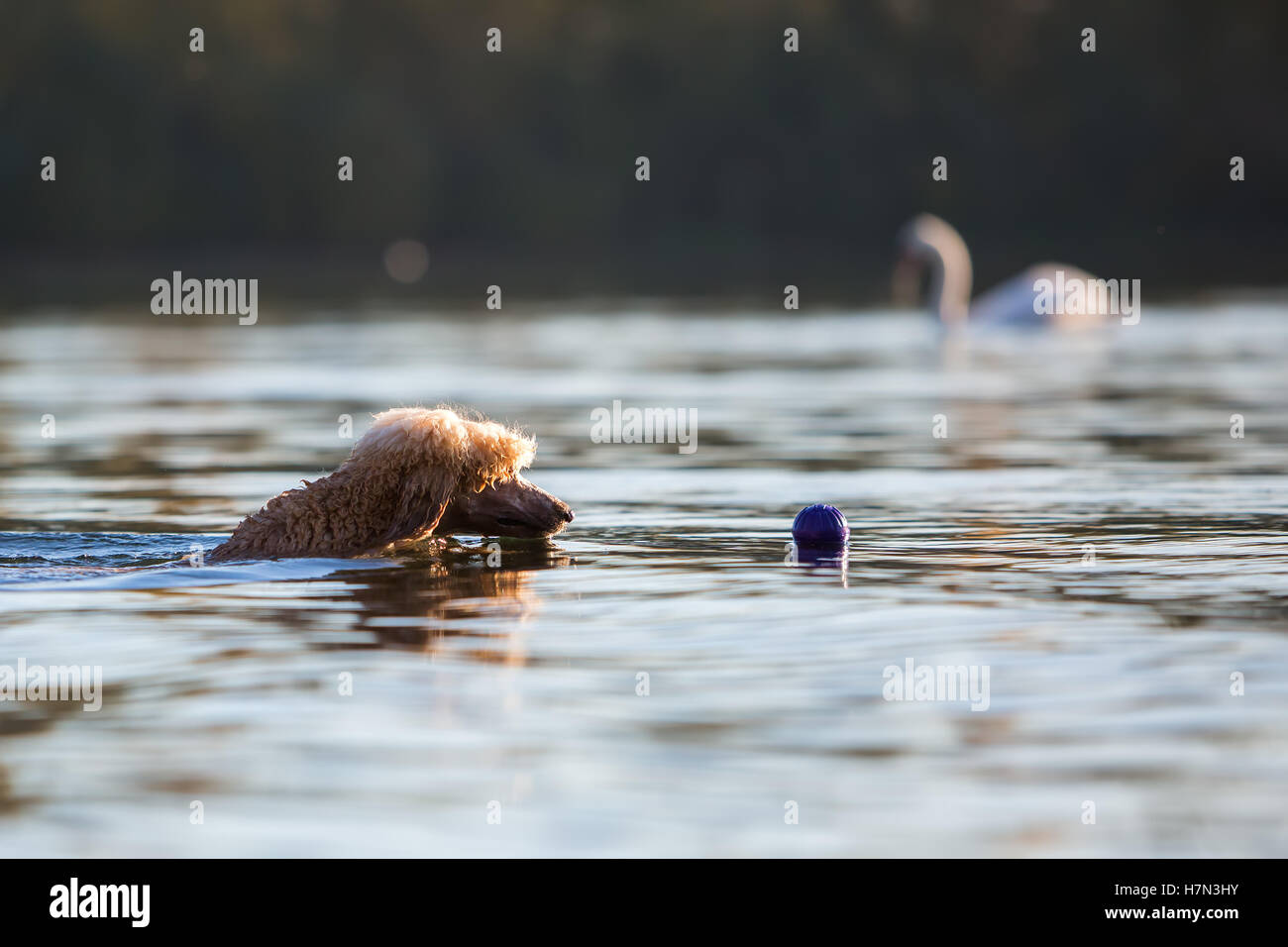 royal poodle swims for a ball in a lake - Stock Image
