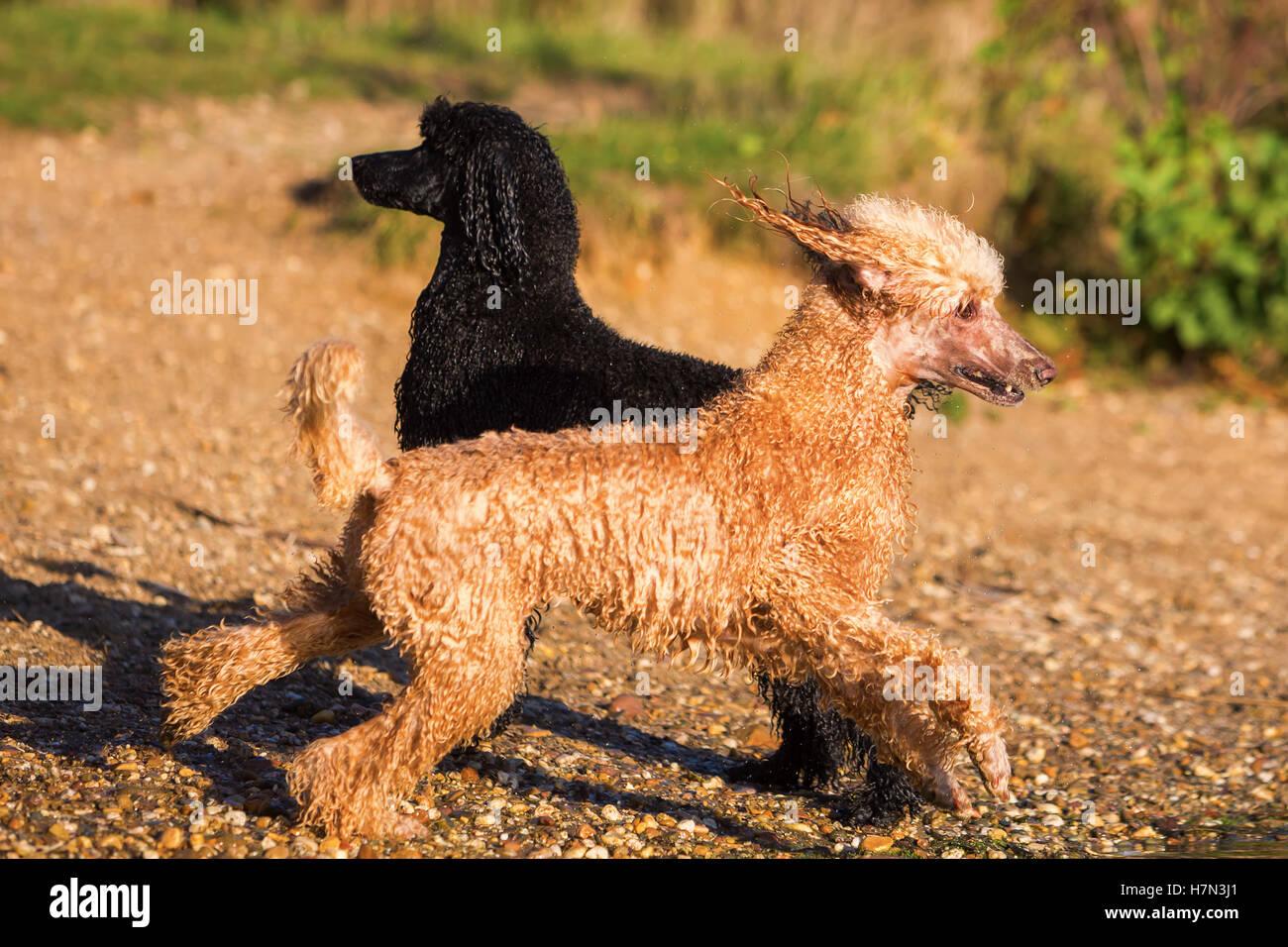 two wet royal poodles having fun at the lake - Stock Image
