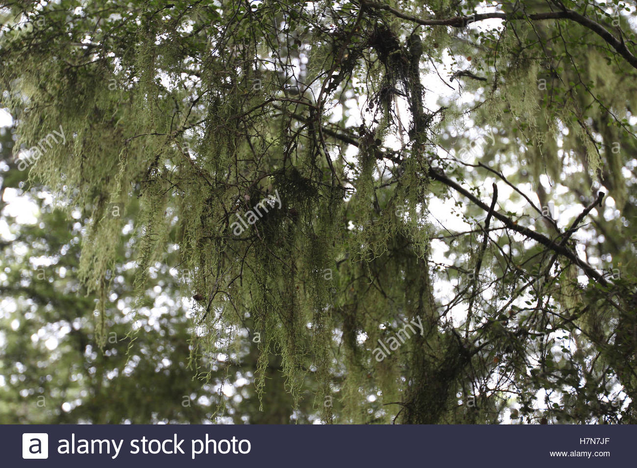 lichen on tree at primeval forest, south island, new zealand - Stock Image