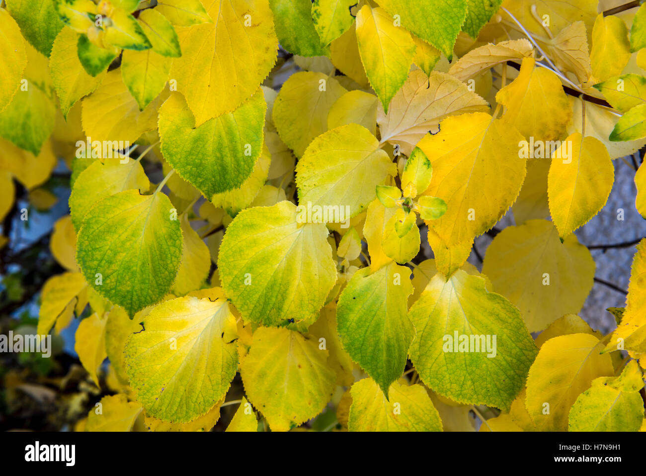 Green And Yellow Vines Stock Photos Green And Yellow Vines Stock