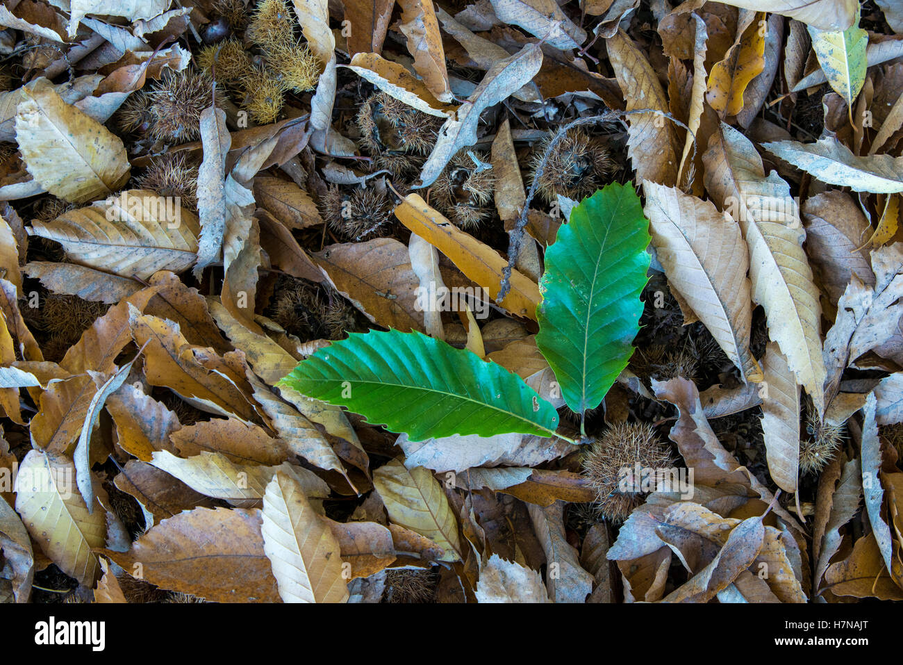 Fresh and withered Sweet chestnut (Castanea sativa) leaves, closeup, Divonne les Bains, Auvergne-Rhône-Alpes, - Stock Image