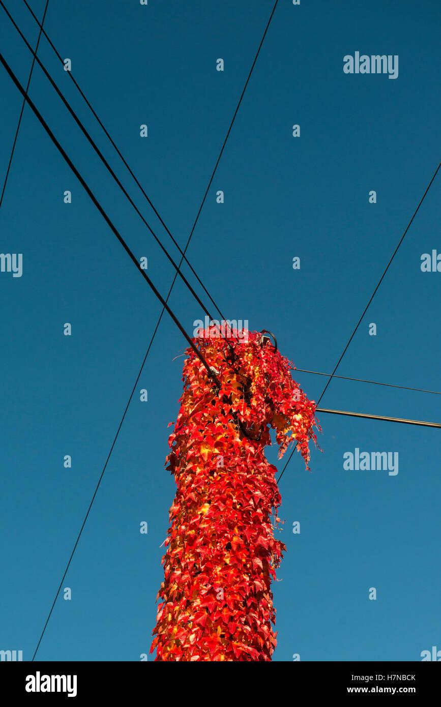 Autumn colored, red vine leaves covering a power pole, Divonne les Bains, Auvergne-Rhône-Alpes, France - Stock Image