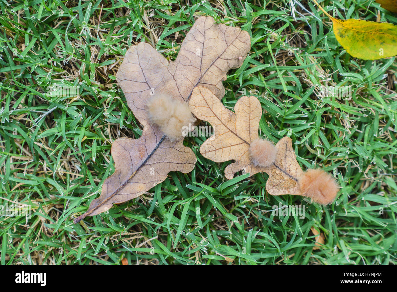 This is a gall on two white oak leaves. This gall is called an oak flake gall. Oklahoma, USA. - Stock Image