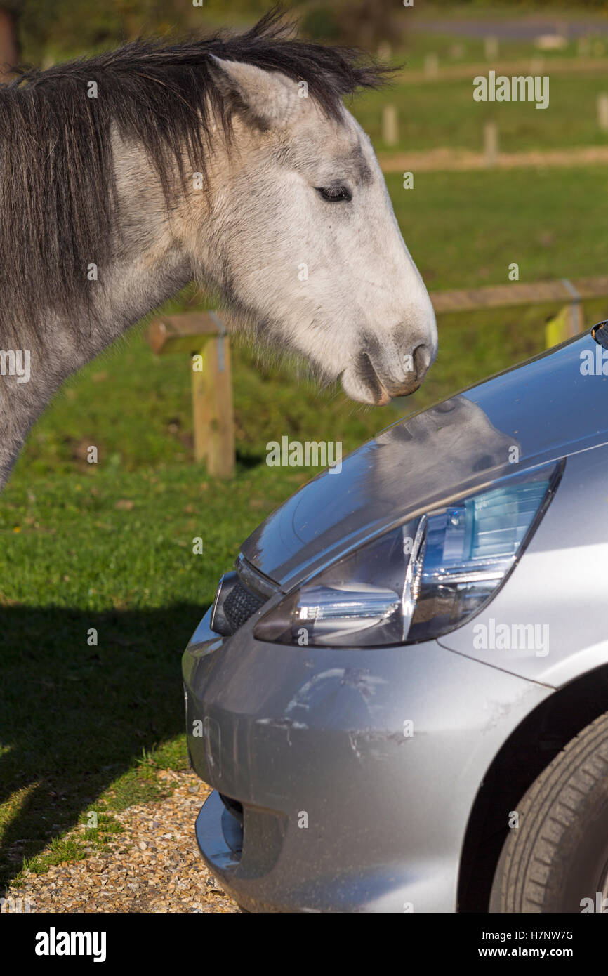 New Forest pony looking at reflection in car in the New Forest in November Stock Photo
