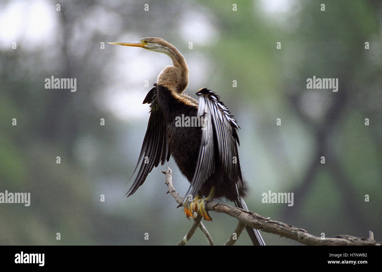 Darter-Anhinga melanogaster, at Keoladeo National park, Rajasthan, India - Stock Image