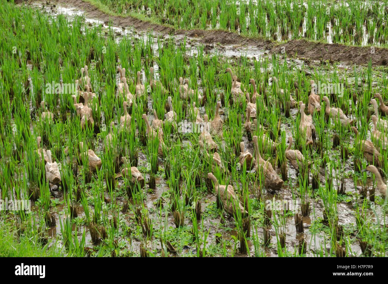 ducks wandering in the fields - Stock Image
