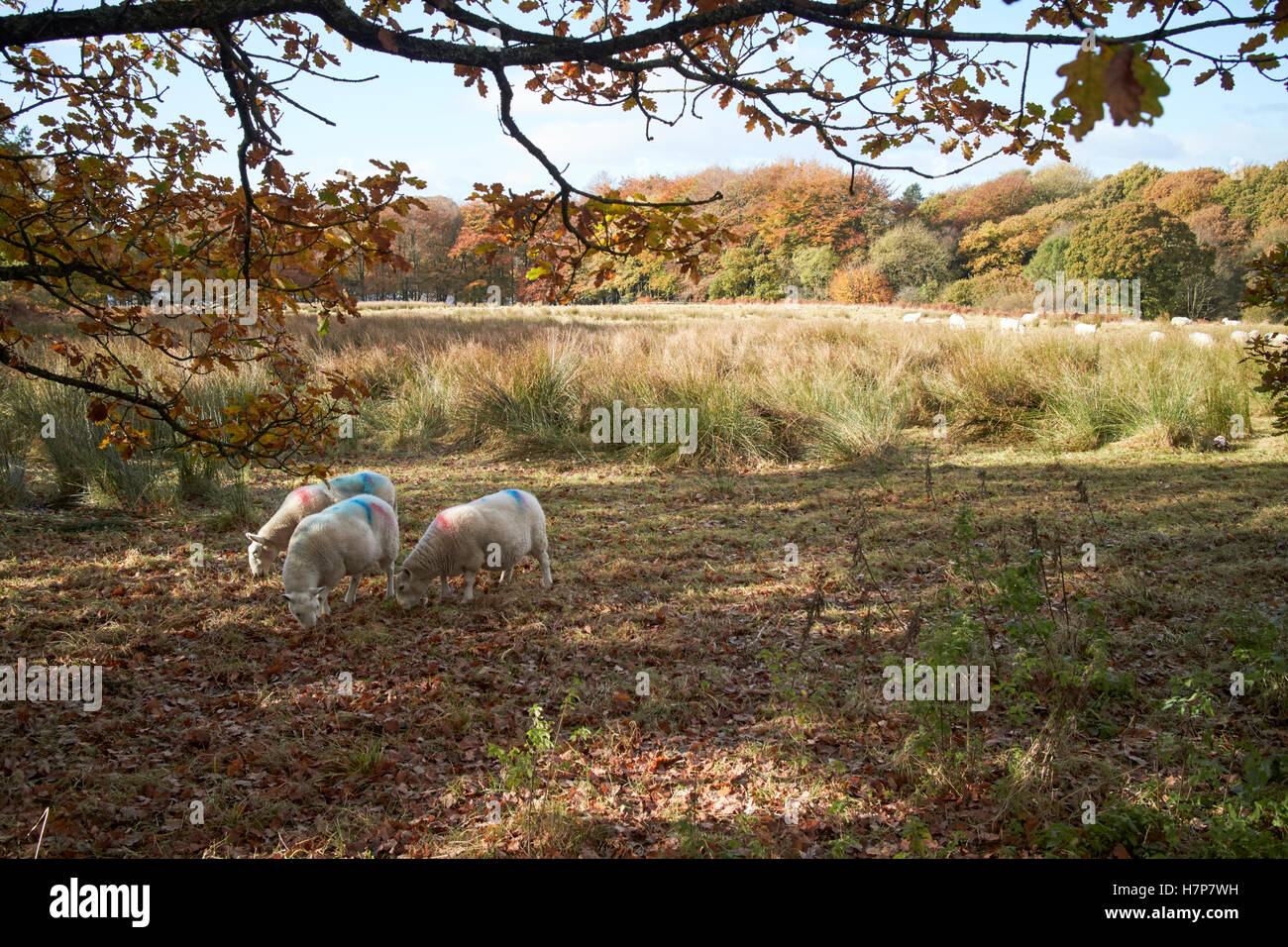 flock of sheep in rough grassland parkland in chorley lancashire uk - Stock Image