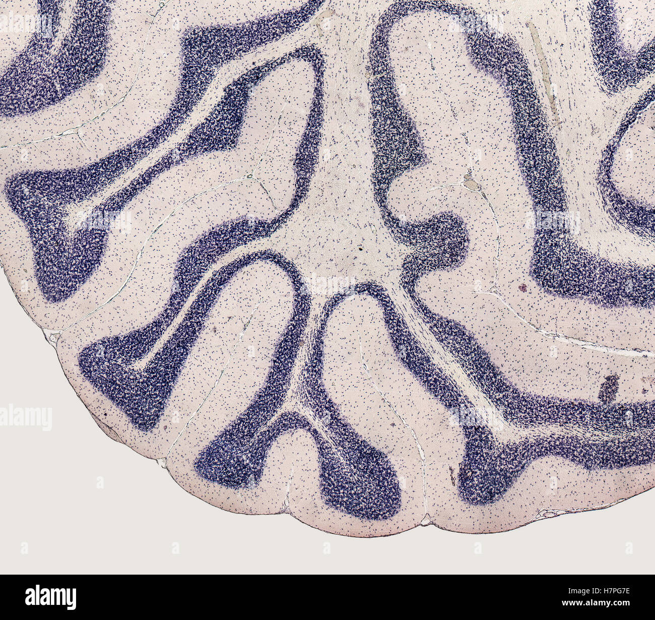 microscopic detail showing the brain of a rat - Stock Image