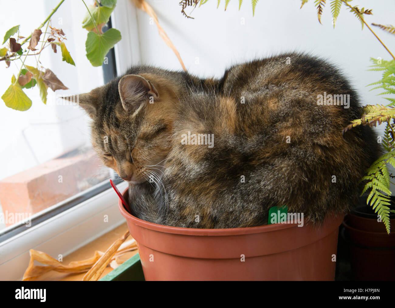 Domestic Cat, portrait of single adult sleeping in flowerpot. Worcestershire, UK. - Stock Image