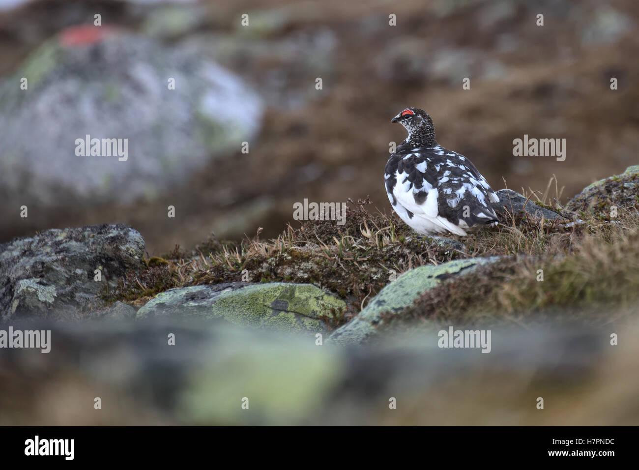 Male rock ptarmigan (Lagopus muta) in spring plumage. - Stock Image