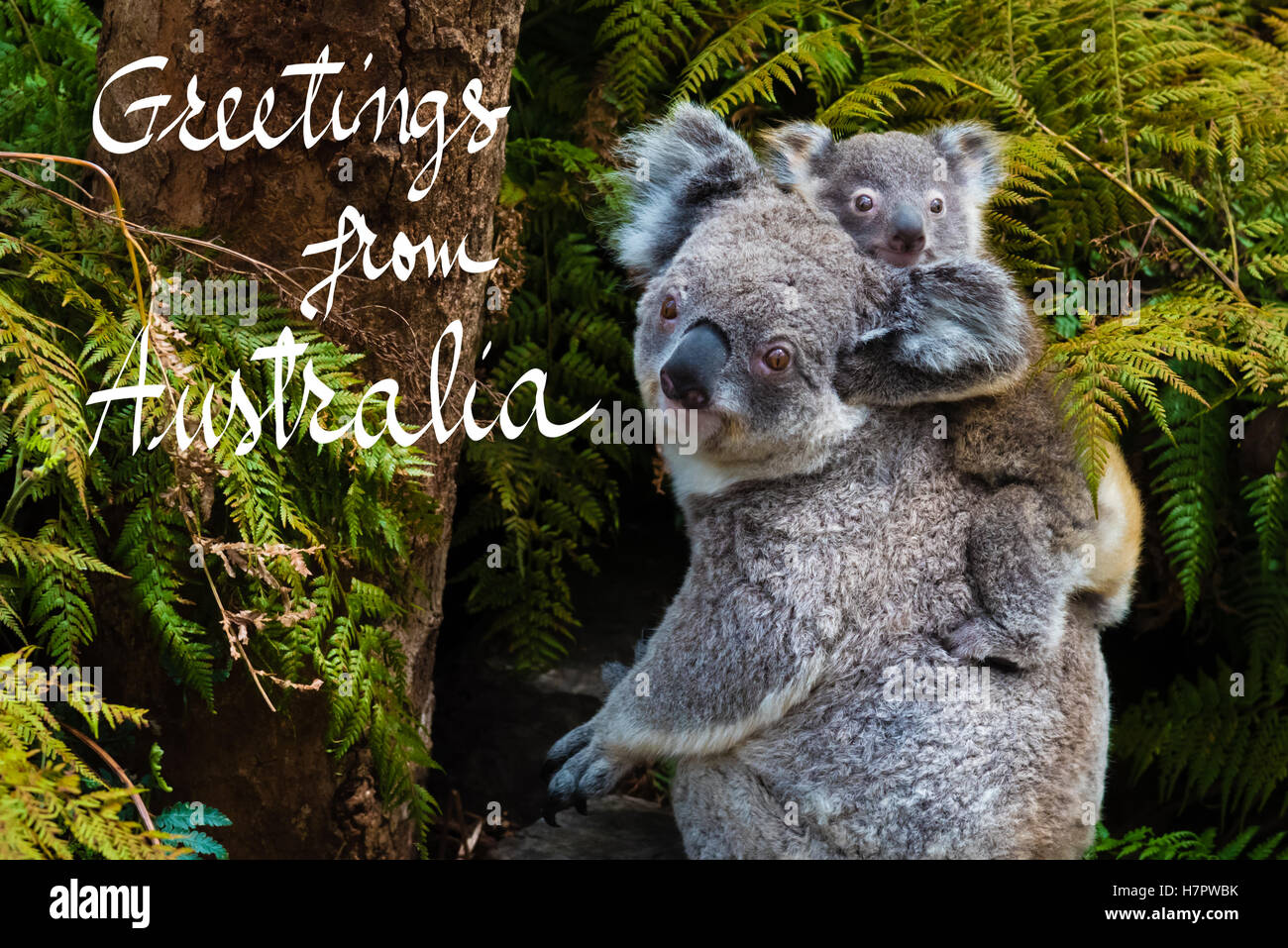 Greeting from australia stock photos greeting from australia stock australian koala bear native animal with baby on the back and greetings from australia text m4hsunfo