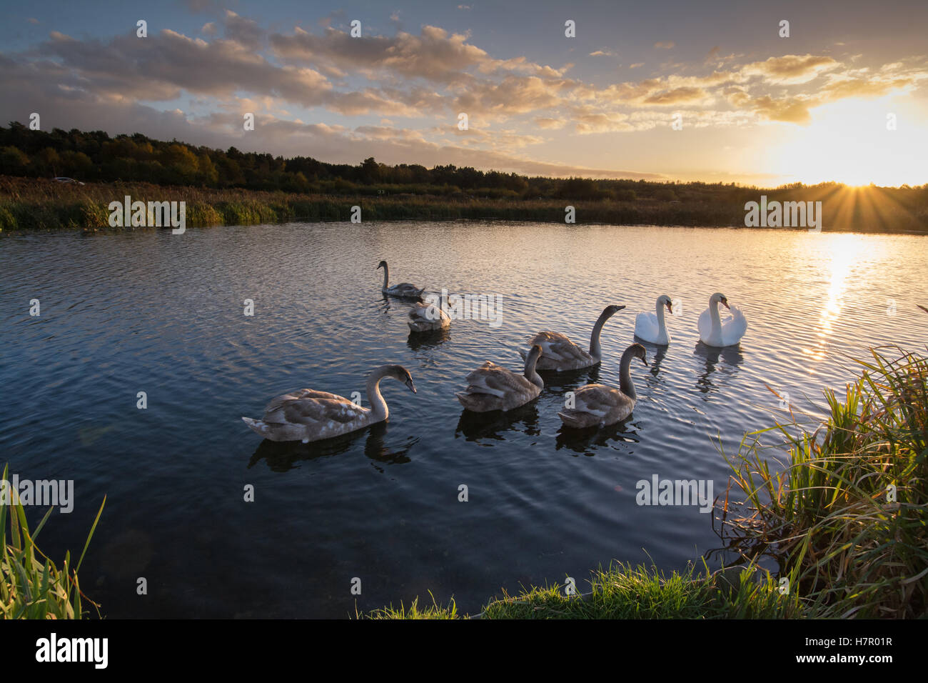 Family of mute swans (Cygnus olor) with six cygnets on the Basingstoke Canal at sunset, Hampshire, UK, wildlife, - Stock Image