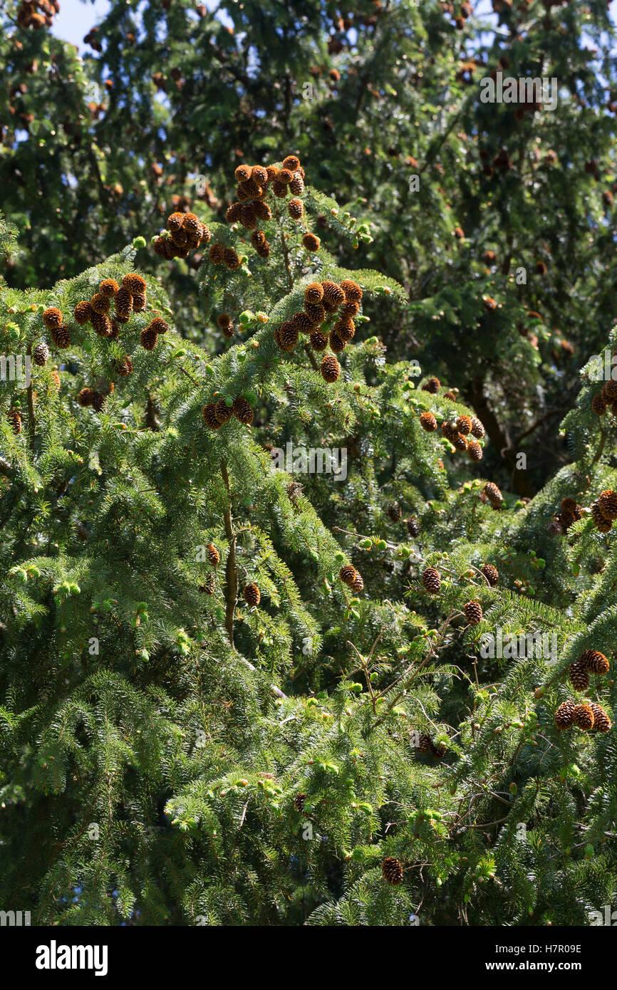 Sitka-Fichte, Sitkafichte, Picea sitchensis, Sitka spruce, L'Épinette de Sitka, Épicéa de France - Stock Image