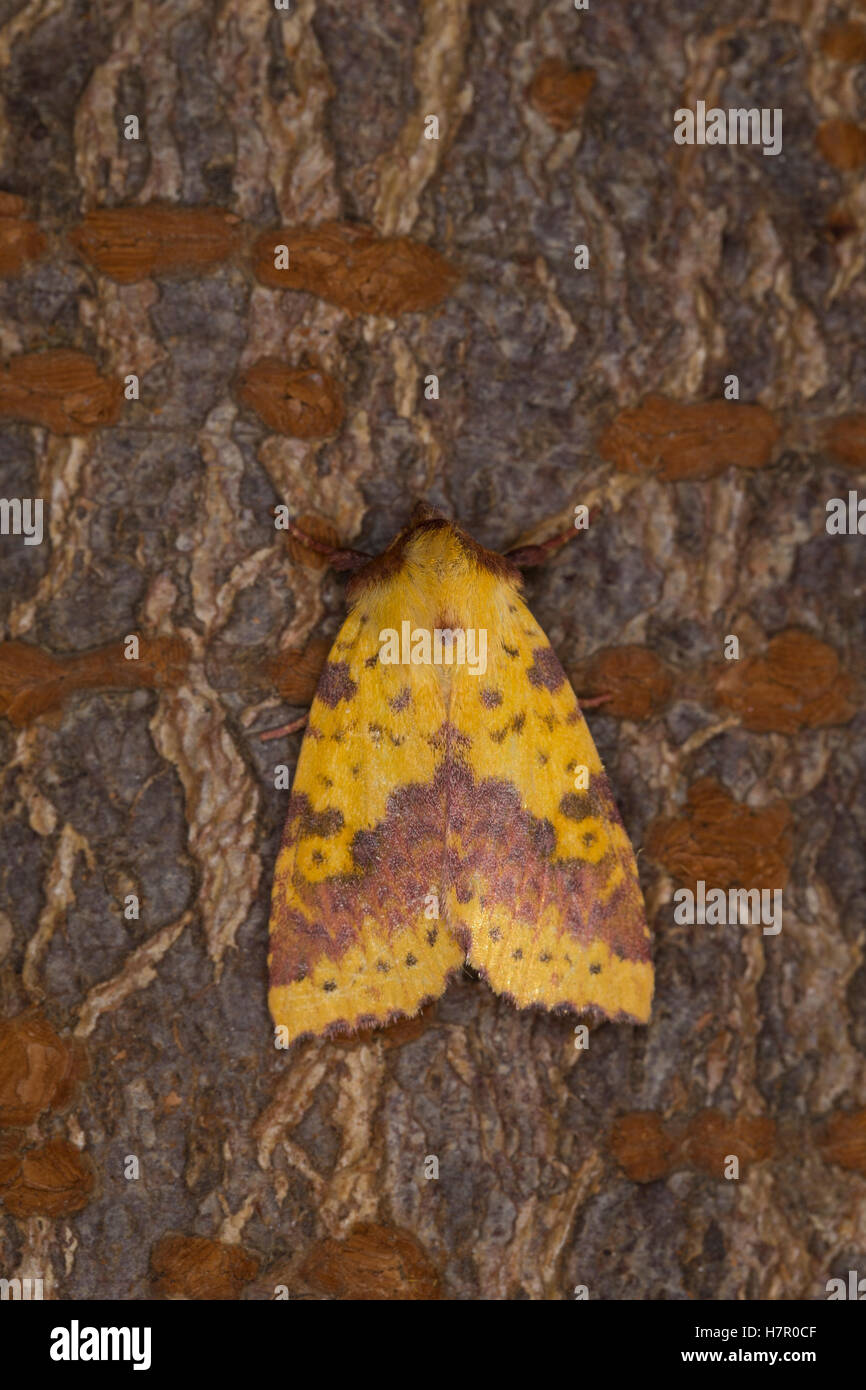 Violett-Gelbeule, Weiden-Gelbeule, Weidengelbeule, Xanthia togata, Pink-barred Sallow. Eulenfalter, Noctuidae, noctuid Stock Photo