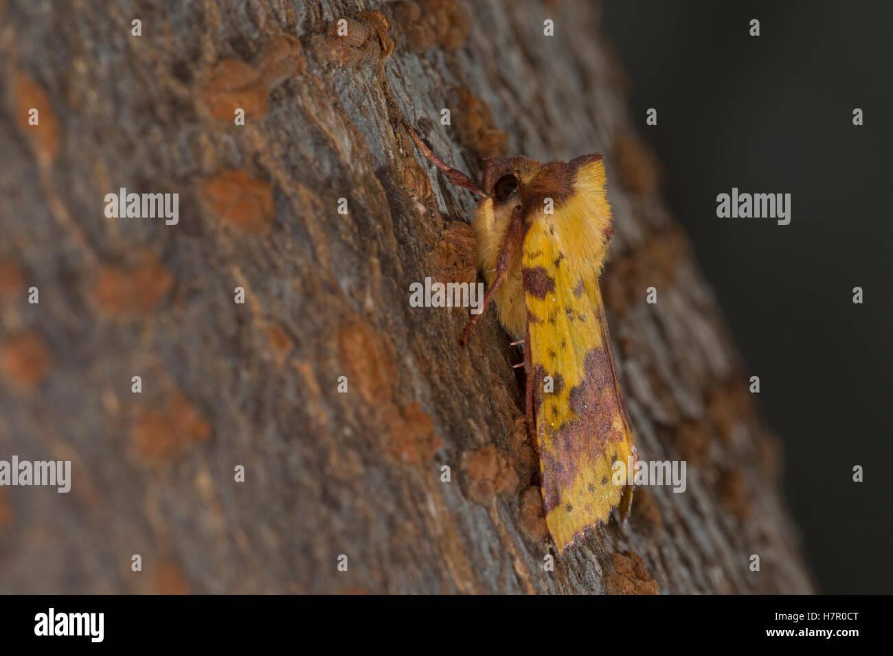 Violett-Gelbeule, Weiden-Gelbeule, Weidengelbeule, Xanthia togata, Pink-barred Sallow. Eulenfalter, Noctuidae, noctuid - Stock Image