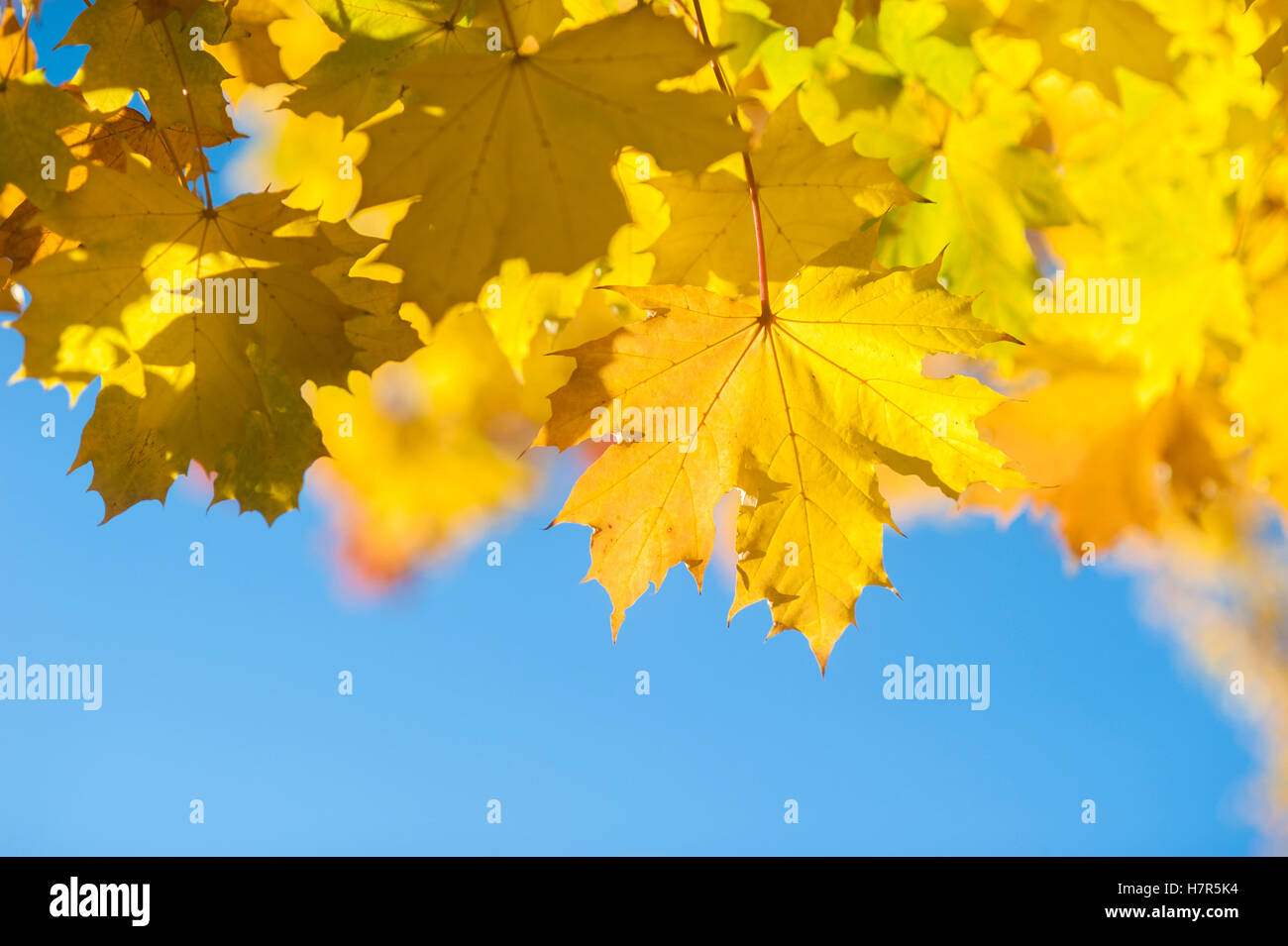 Bright and colourful Autumn leaves against a bright blue sky - Stock Image