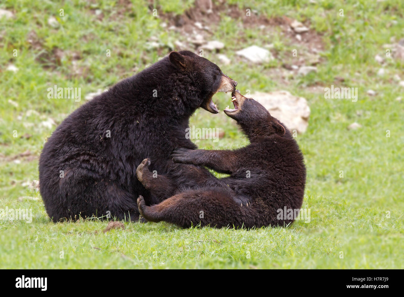 Black bears playing with each other in Canada - Stock Image