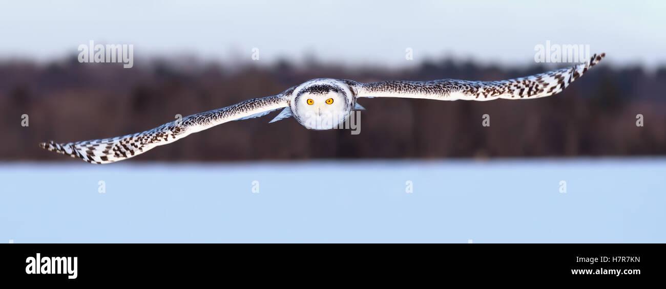 Snowy owl flies low over an open snowy field in Canada - Stock Image