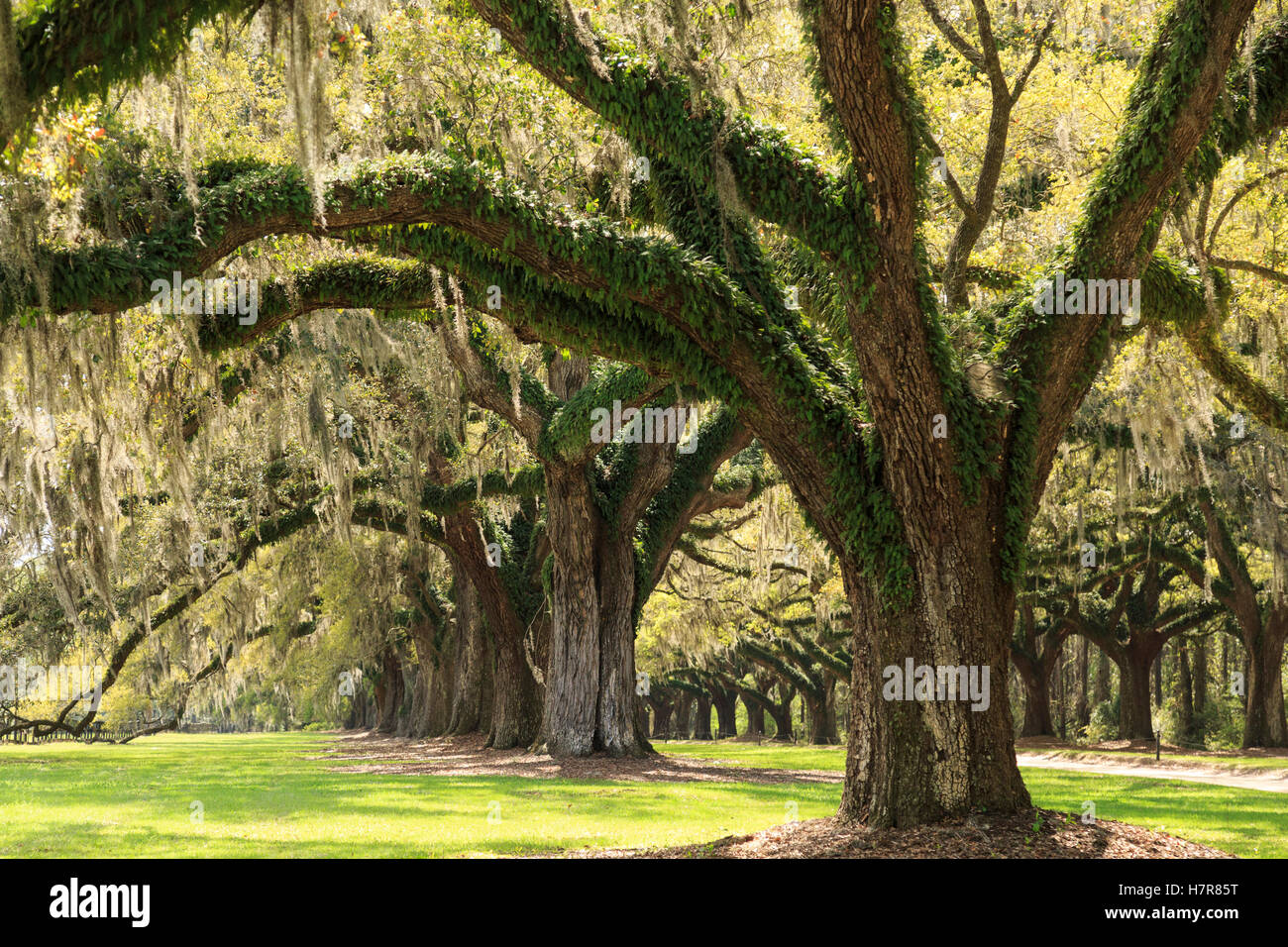 Live Oaks planted in 1743, Boone Hall Plantation and Gardens near Charleston, Mt Pleasant, South Carolina, USA - Stock Image