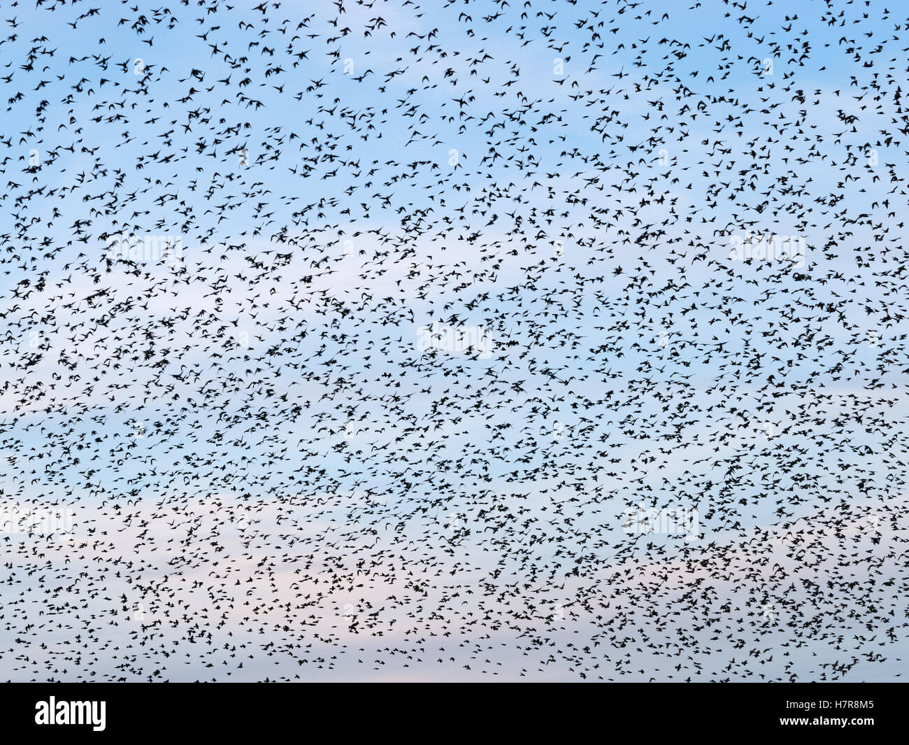 Sky full of starlings birds during a murmuration in Aberystwyth, Wales UK. - Stock Image