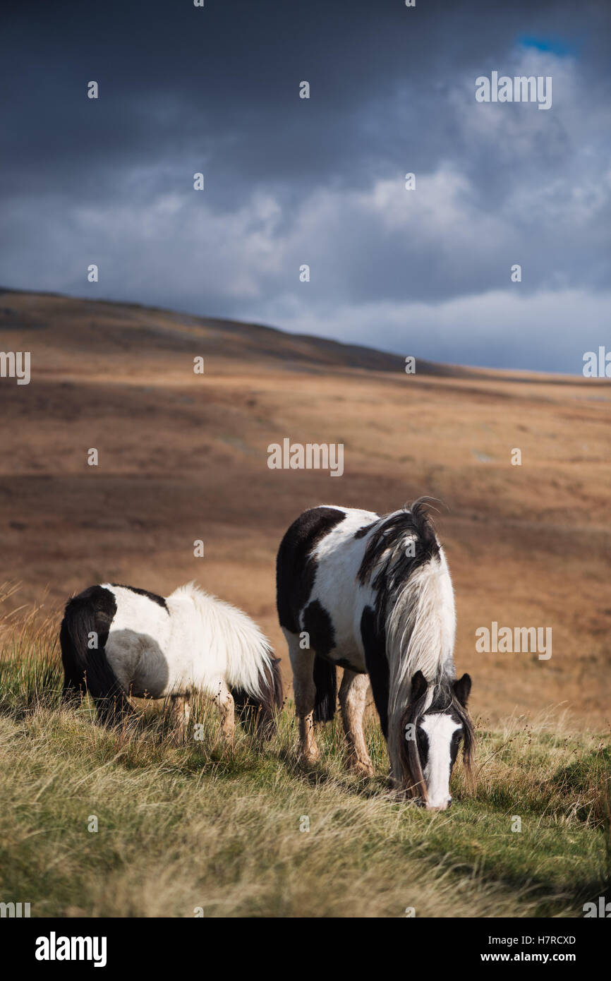 Wild Welsh mountain ponies on the Black Mountain range in the Brecon Beacons National Park, Wales, UK - Stock Image