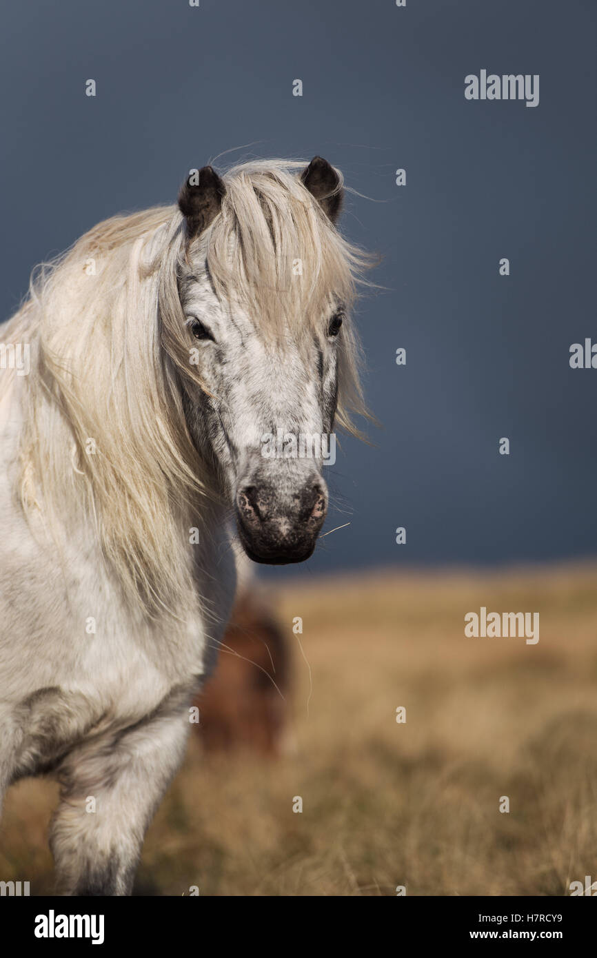 Wild Welsh mountain pony on the Black Mountain range in the Brecon Beacons National Park, Wales, UK - Stock Image